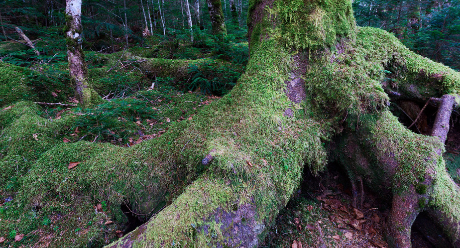 A moss covered tree representing Mill Pensions long term relationships with Trustees